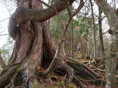 巨木があったので撮影しておいた。尾根はまだまだ続く
