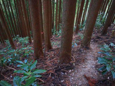 植林帯に入るとピンクテープがって踏み跡がしっかりあるので従って下っていく