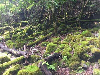 苔地帯もあり。やはり人間が入り込んでいないのか柔らかい苔が多い