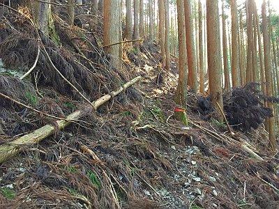 ところどころに赤テープが巻いてある。ちなみに、これからしばらく植林と自然林のコラボが続く
