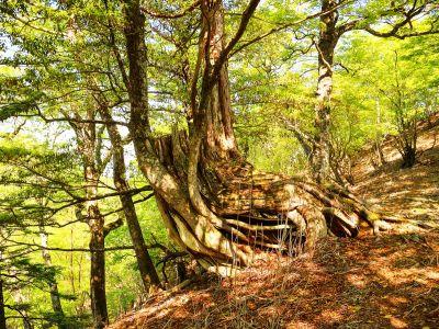 大峰らしい大きな木が現れた。こういうのが増えてくれれば大峰っぽくなってくるんだけど