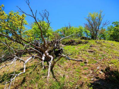 倒木と樹林のコラボ。こういうのが大峰らしいね。それにしても天気は快晴でバッチリ