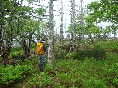 倒れ木地帯に入ると弥山は右へ折れる(トラバースする)。直進すると進めなくなる