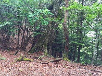 この尾根にはところどころ大きい木がある